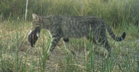 Image of a feral cat